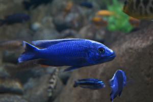 cichlidé africain bleu electrique