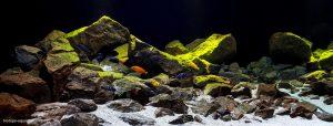 aquarium biotope cichlidés